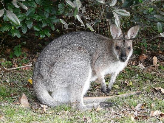 Bunyas Trip - Wallaby