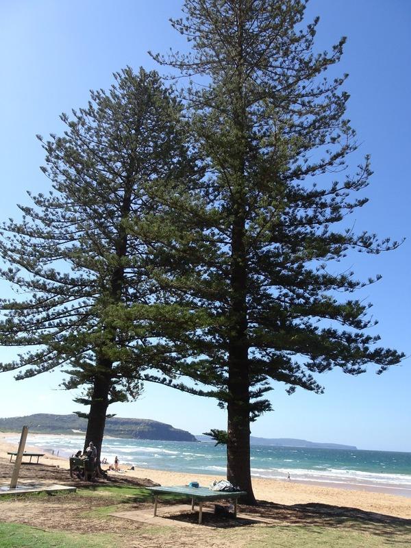 Palm Beach Norfolk Palms