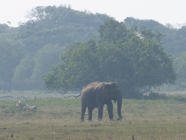 Solitary male elephant