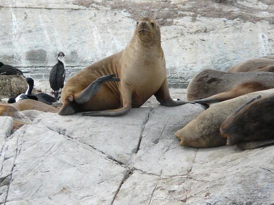 Day 4 - Beagle Channel Trip - Sea Lion