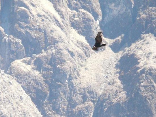 Colca Trip - Colca Canyon - Condor 2