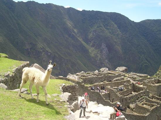 Machu Picchu  - Llamas to keep the grass down!