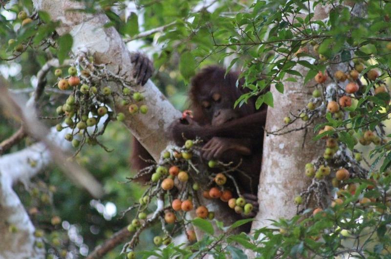 Orang-utan (female) and figs