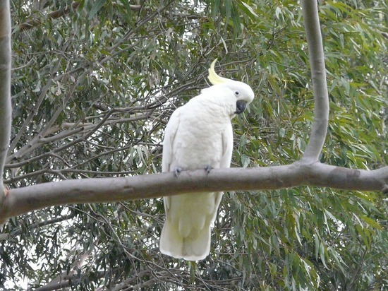 Common local wildlife - Sulphur Crested Cockatoo