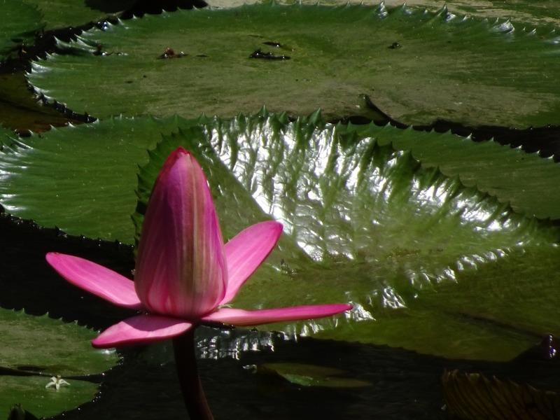 Sandakan Memorial Park - Lotus on small lake