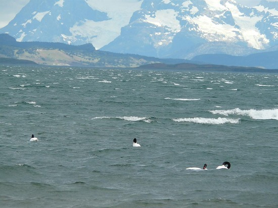 Puerto Natales - Black Necked Swans and mountains