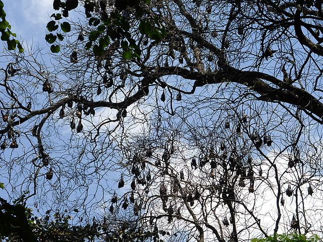 Peradeniya Botanical Gardens - Fruit bats too