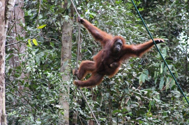 Orang-utan at Serenggoh Wildlife Reserve