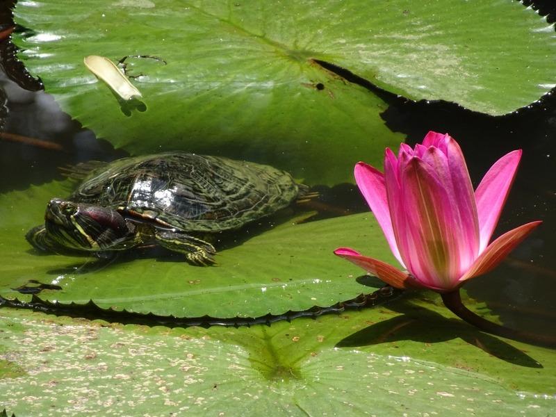 Sandakan Memorial Park - terrapin and lotus