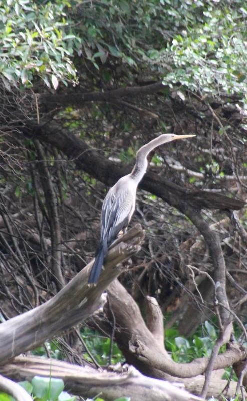Pantanal Extreme Tour - Anhinga