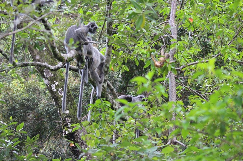 First sighting - Silver Leaf Lemur monkeys