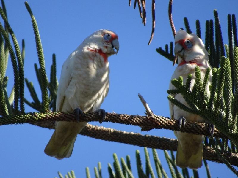 Local birdlife - Cockatoos