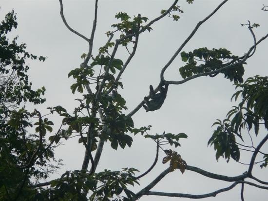 Mamiraua Wildlife - Hyperactive sloth!