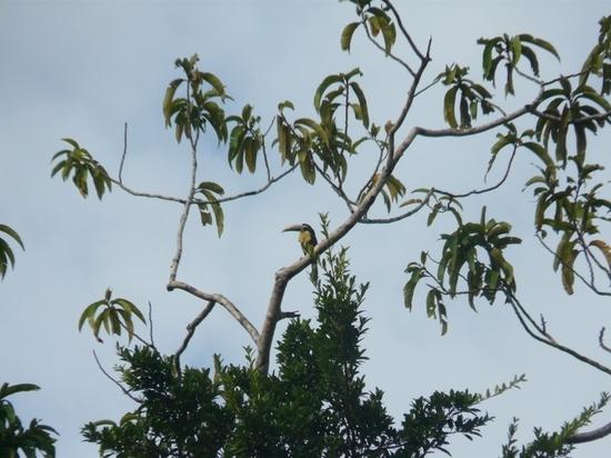 Mamiraua Wildlife - Toucan