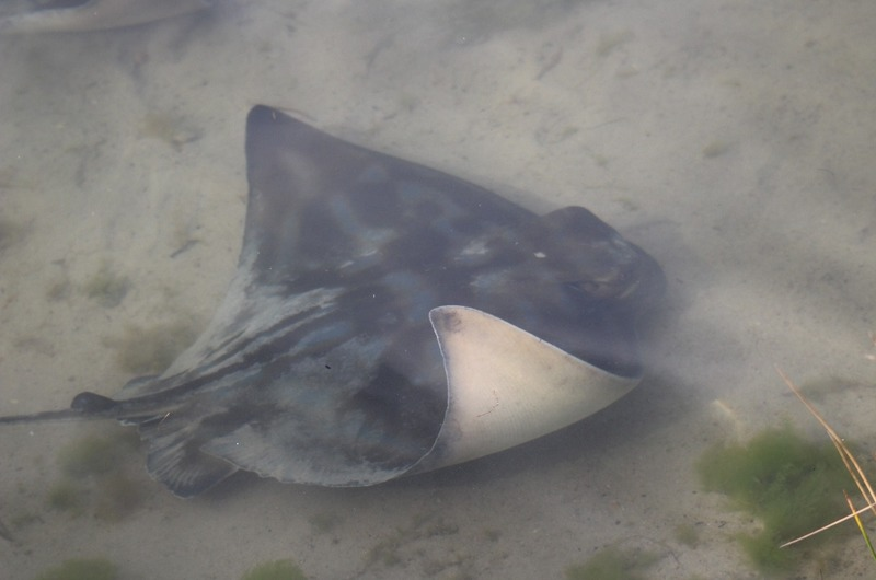 Augusta by the river - Sting Ray