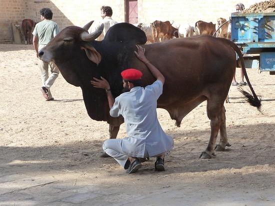 Cossetting the bull!