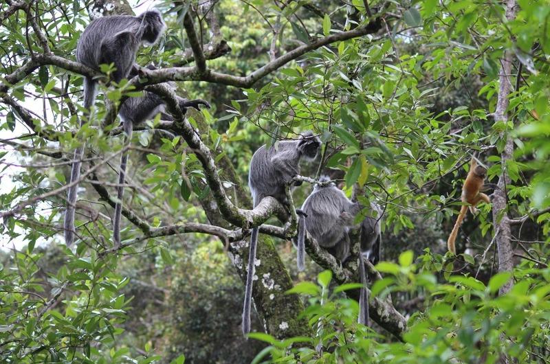 Silver Leaf Lemur monkeys
