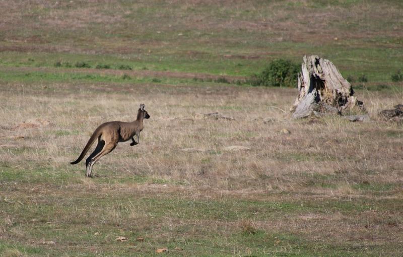 Kangaroo (off road past the wineries)