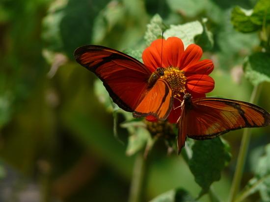 Belem - Local Butterfly