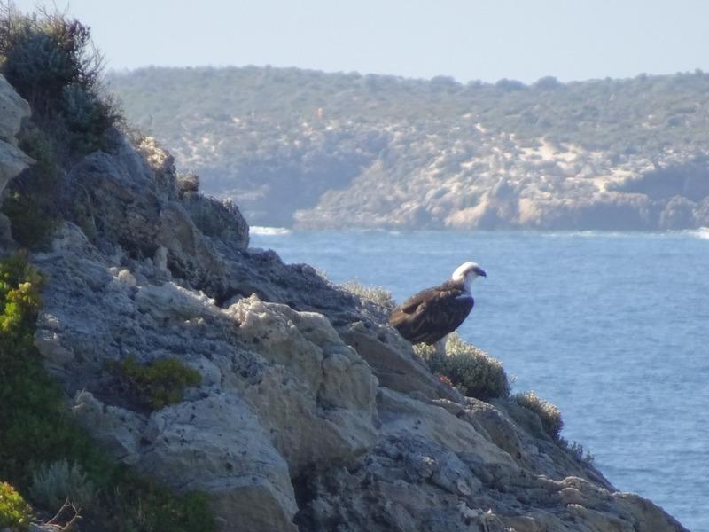 Rottnest - Osprey - Mary Cove