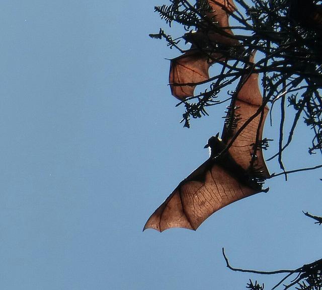 Peradeniya Botanical Gardens - Fruit bats