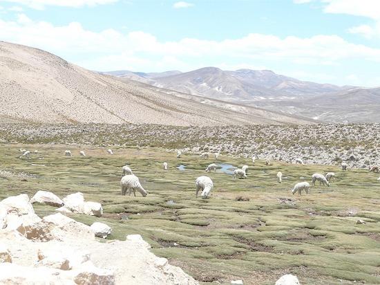 Colca Trip - Alpacas