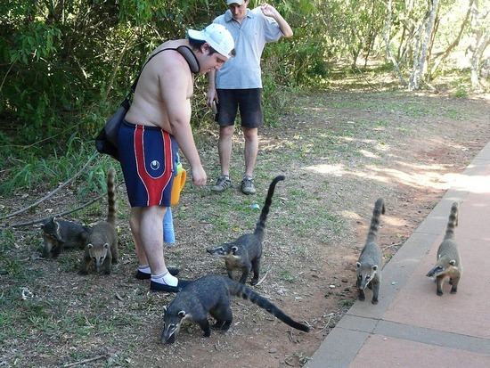 Iguazu Argentina Wildlife - Coatis