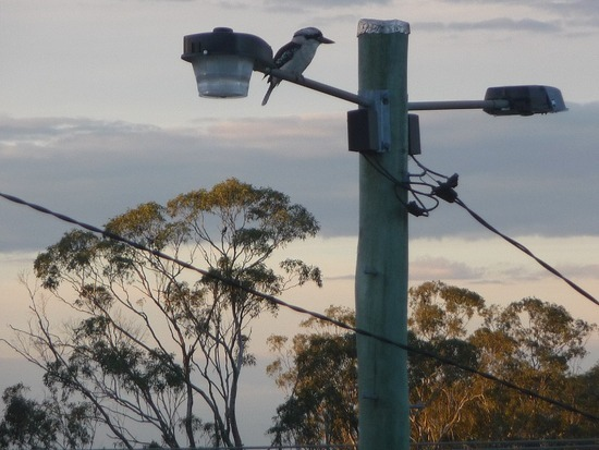 Telegraph Pole   Kookaburra