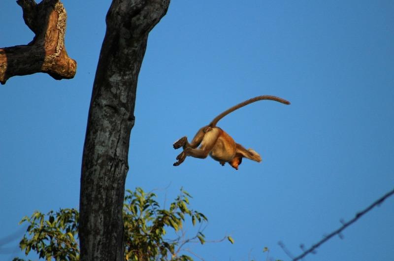 Proboscis monkey in the air!