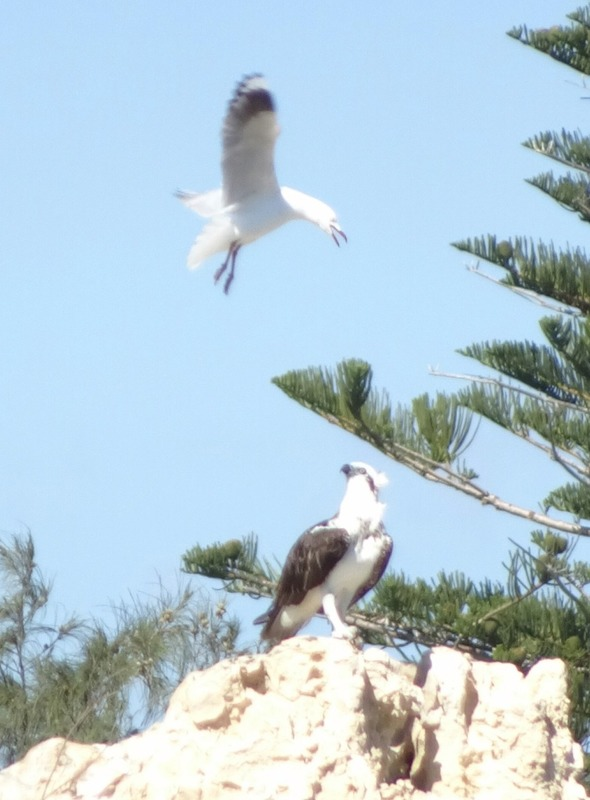 Osprey and seagull close to Cottesloe Beach
