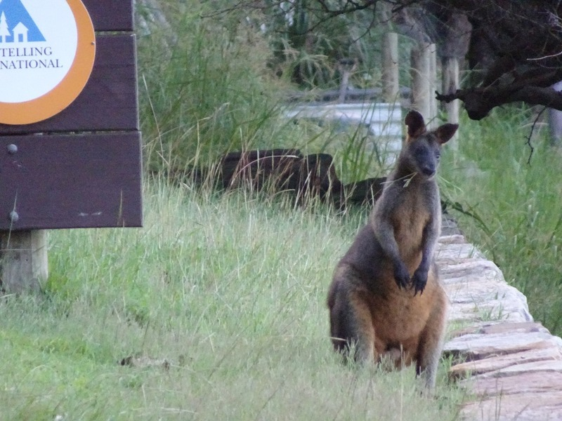 Pittwater YHA - Wild Rock Wallaby to greet us