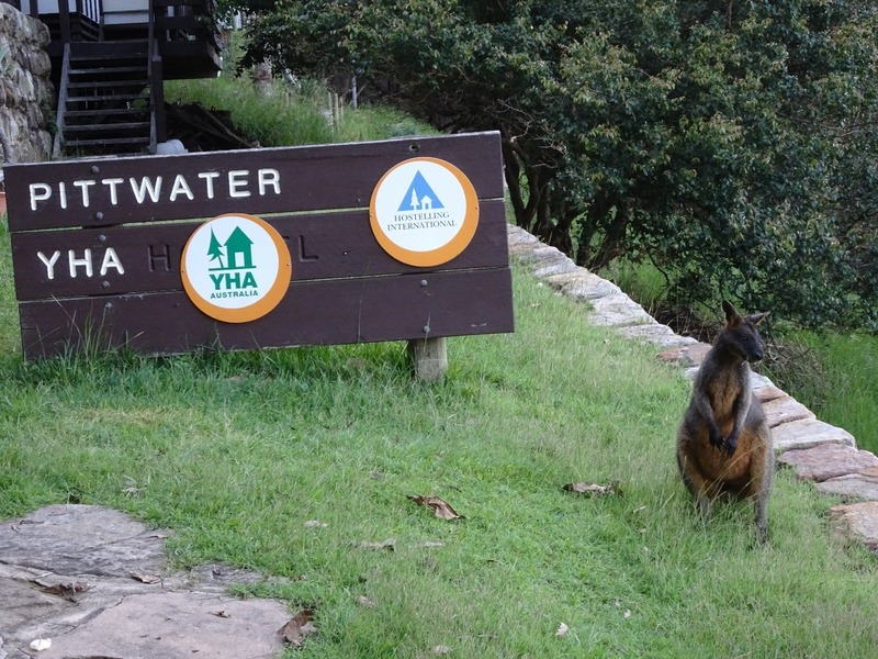 Pittwater YHA - Wild Rock Wallaby to greet us!