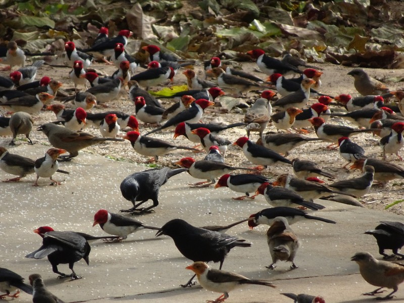 Yellow Billed Cardinals and others