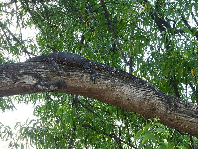 Large waran up tree