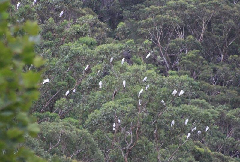 Royal National Park Walk - Cockatoos in trees