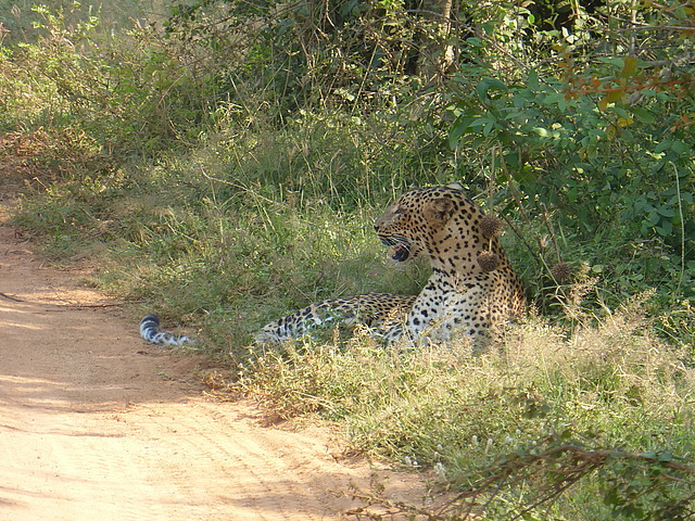Female leopard lying at the side of track