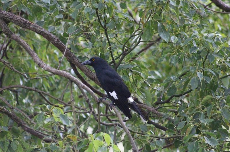 Black Currawong