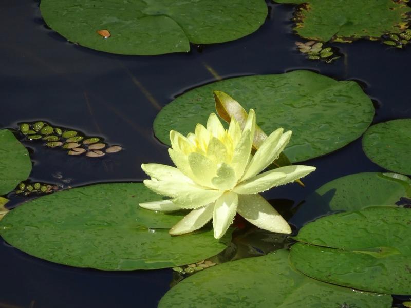 Lotus flower?