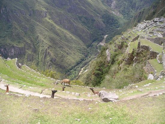 Machu Picchu  - Llamas to keep the grass down 2