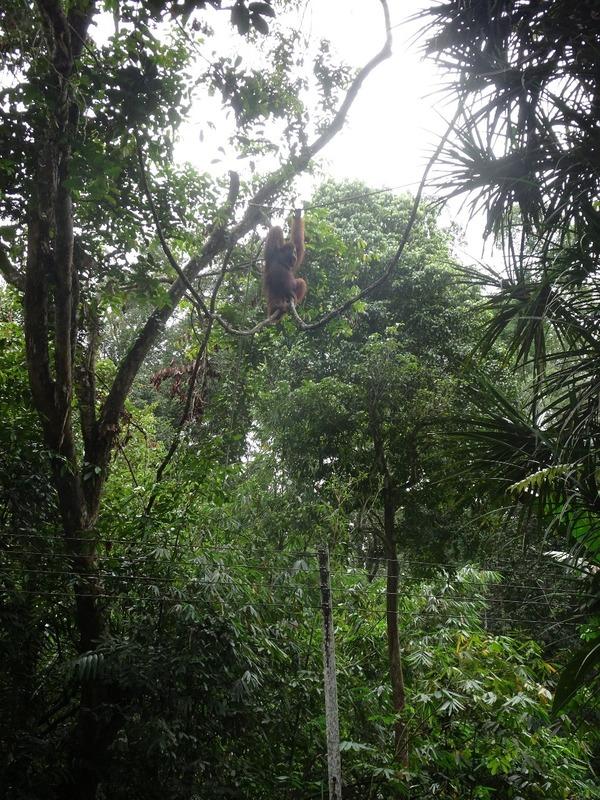 Serenggoh orang-utan feeding area 1
