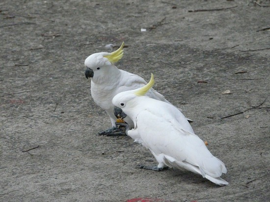 Common local wildlife - Sulphur Crested Cockatoo 2