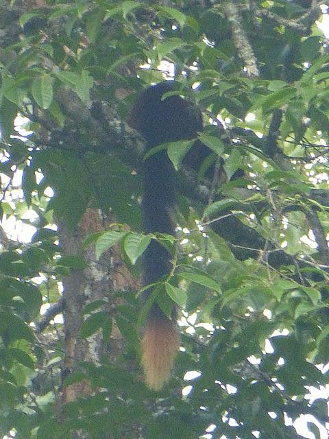 Malabar Giant Squirrel - best view of it we got!!