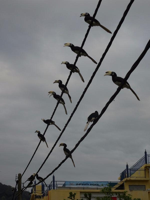 Hornbills awaiting their bananas