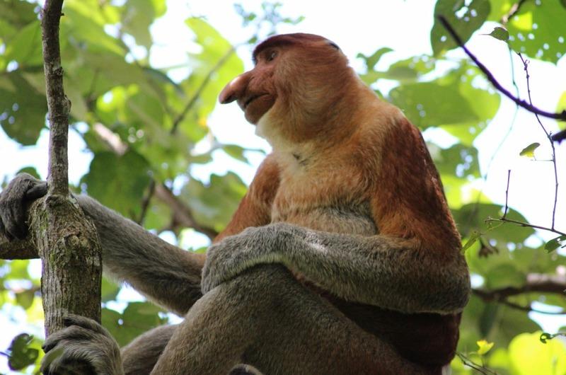 Proboscis Monkey 2