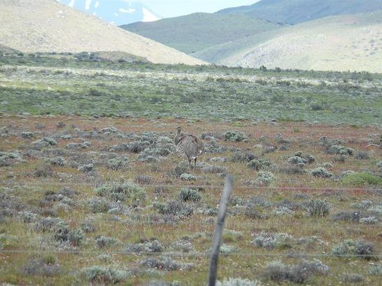 Torres del Paine trip - Spot the Rhea!