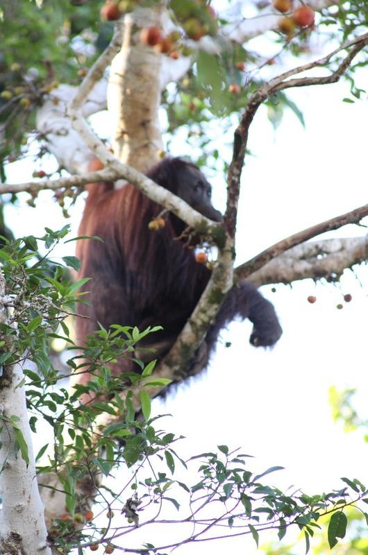 Orang-utan (female in nearby tree)