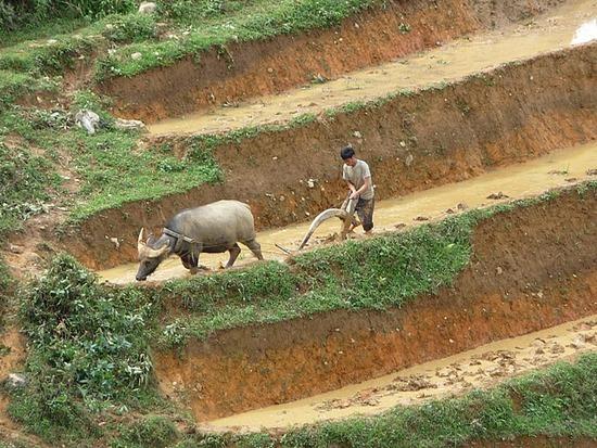 Ta Phin Trek - Buffalos at work 4