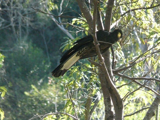 Lindsey's Cousins garden - Black Cockatoo