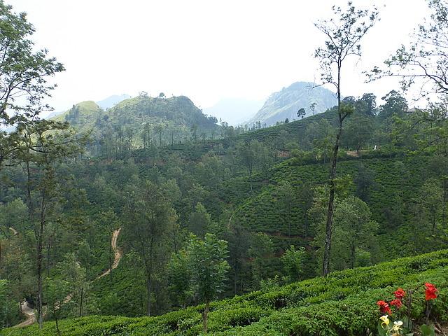 Little Adam's Peak from tea plantation