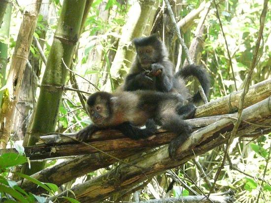Iguazu Argentina EcoTrip Cappuchin Monkeys 3